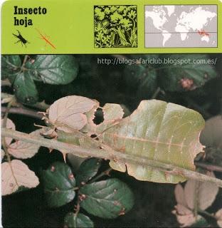 Blog Safari Club, el Insecto hoja, se diría que es una hoja seca ambulante