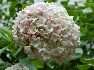Closeup of white Fragrant Snowball Viburnum x carlcephalum flower in bloom by garden muses: a Toronto gardening blog