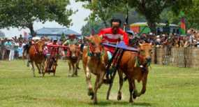 Karapan Sapi Tradisi Populer Di Madura