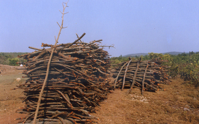AUSAID Bidik Kerusakan Hutan Mangrove di Pantai Utara Brebes
