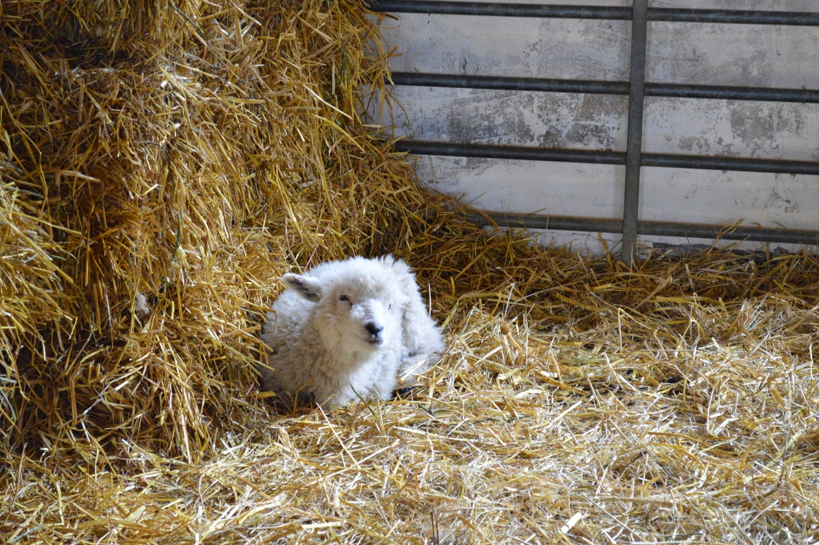 picture of a tiny lamb in  a hay barn, lambing season at Wimpole