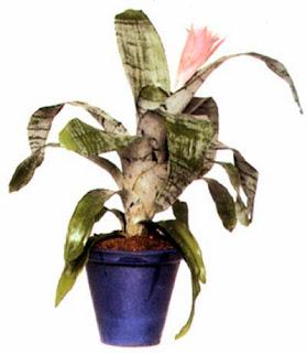 Калатея полосатая (Calathea zebrina) предпочитает светлое место, куда солнце попадает рано утром или вечером, но не в середине дня.