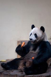 panda eating carrotts