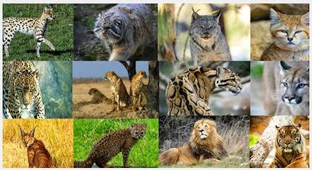 List of Wild Cats Cat And Wild Cat Species