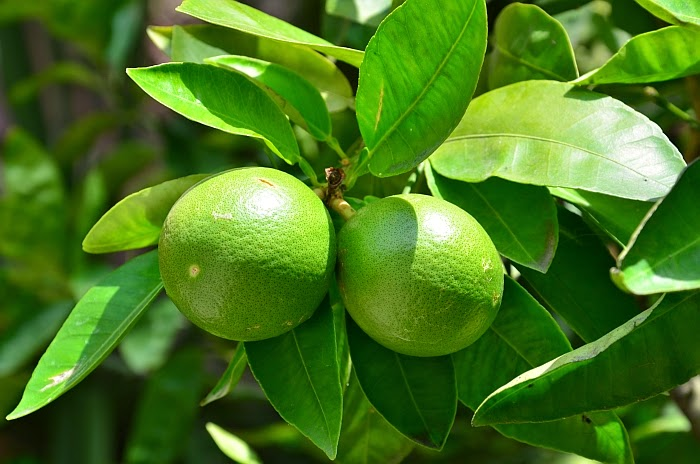 Зеленый, Мандарины, фото Ольги Граф