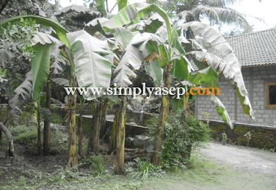 Daun daun pisang yang tumbuh di depan rumah di Jogjakarta juga tidak luput tertimpa debu debu Gunung Merapi.  Foto dokumentasi Asep Haryono
