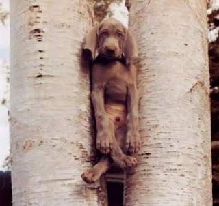 Cão preso entre árvores