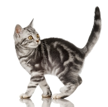Shedding and Coat color in American Shorthair Cats