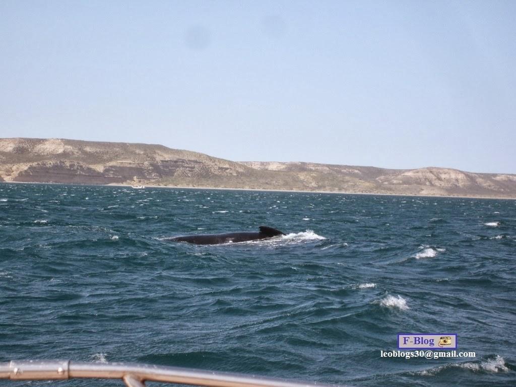 Ballena franca austral con su ballenato - Avista de Ballenas - Península Valdes