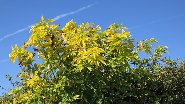 Golden Elderberry Tree