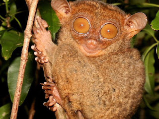 Tarsier Wallpapers