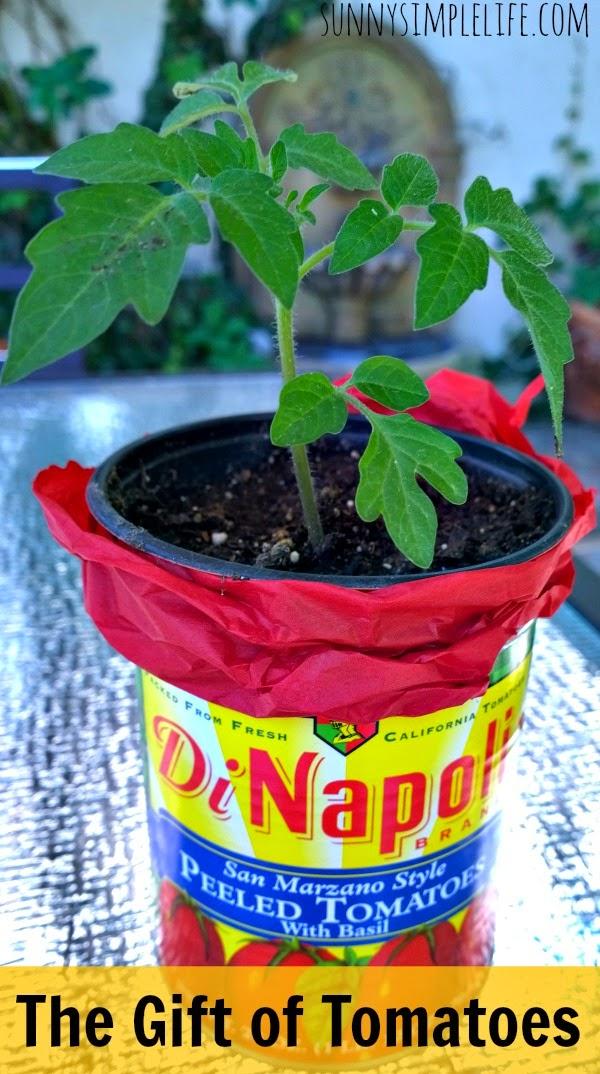 tomato plant gift idea