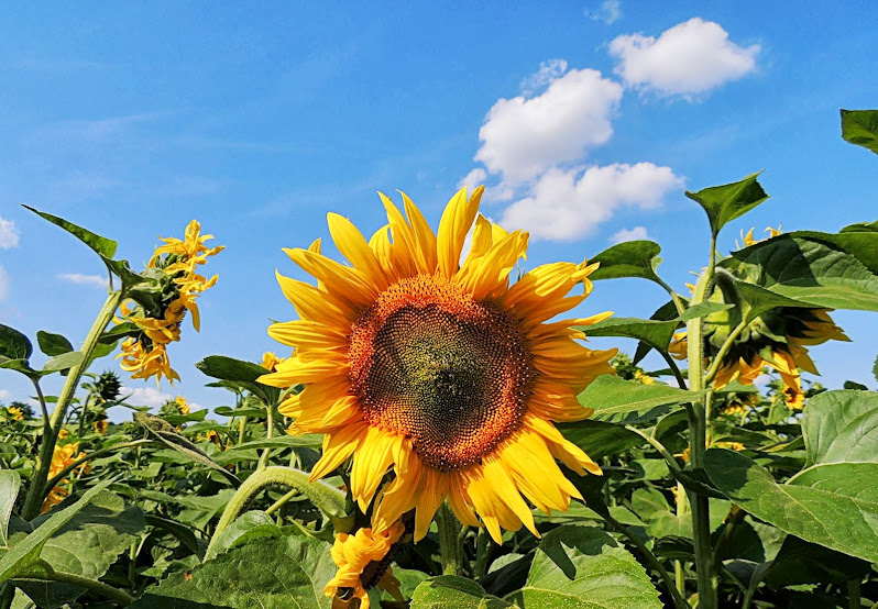Veselá slunečnice