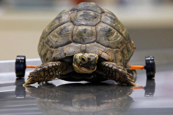 wheel turtle