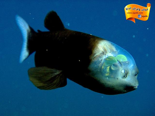 السمكة ذات الرأس الشفاف