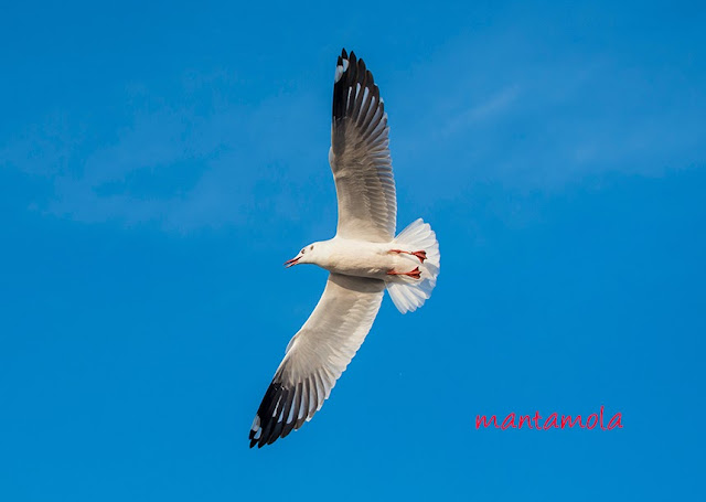Black Headed Gull (Chroicocephalus ridibundus)