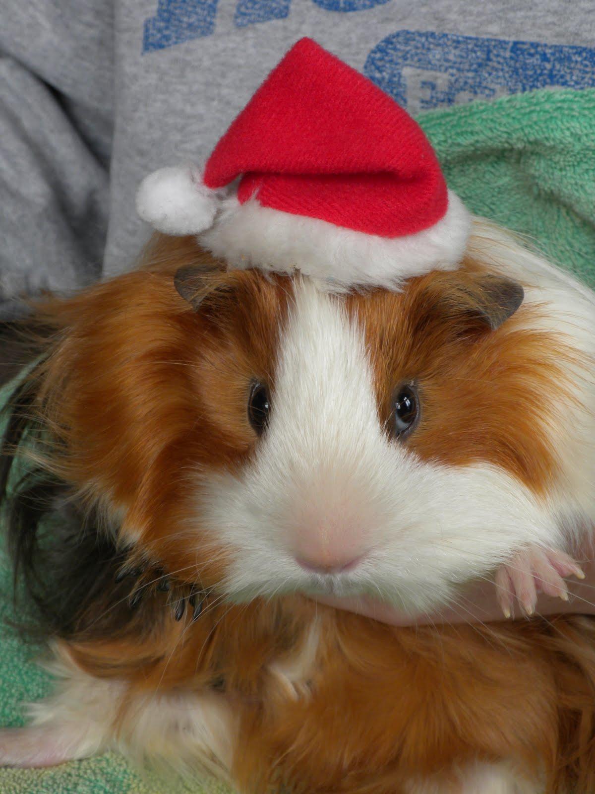 Undercover guinea pigs 2011 - Hamster agent secret ...