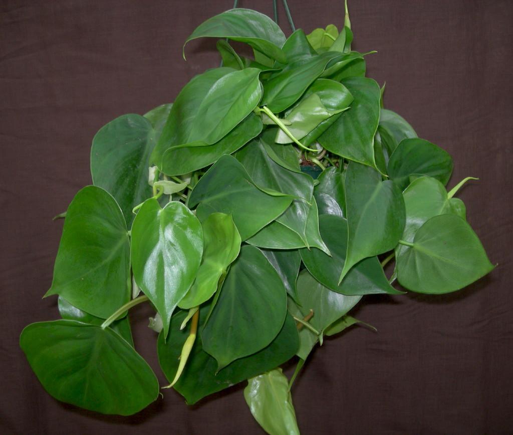 viveros vangarden hojas acorazonadas
