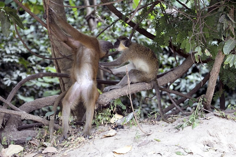 Guinea Baboon and Green Monkey in Gambia