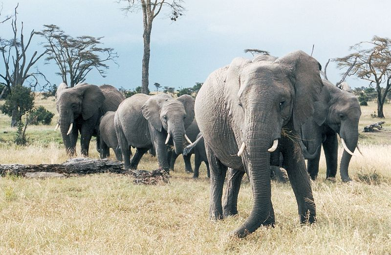Elephant-heard
