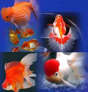 jenis+ikan+koki Jenis   Jenis Ikan Mas Koki