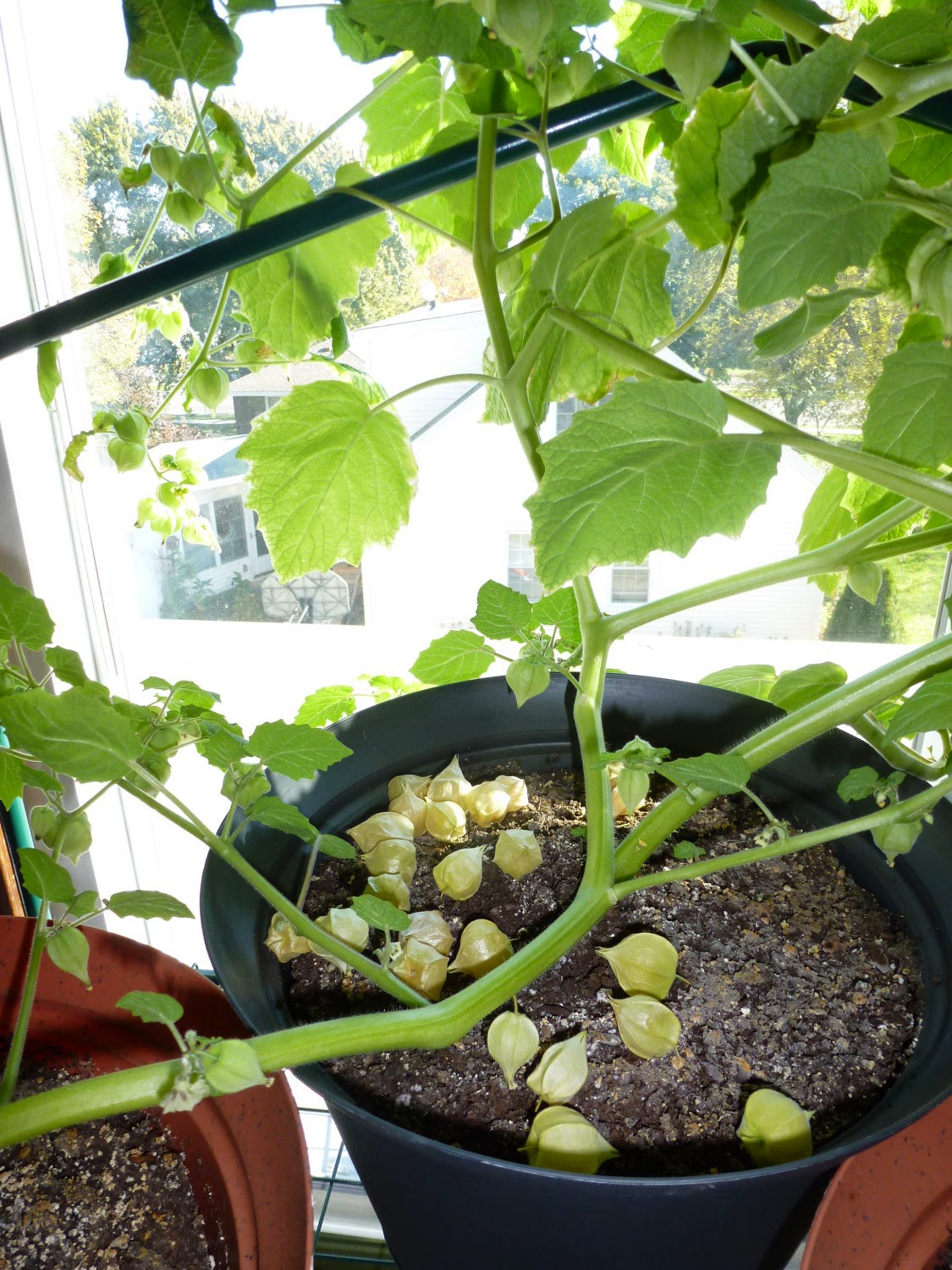 Anita 39 s health blog cossack pineapple ground cherry tomatoes for Pineapple in the ground