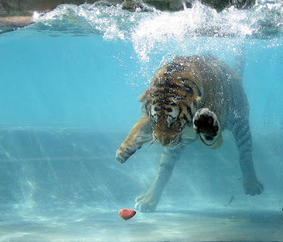 TheJungleStore.com Blog   6 Incredible Pictures Of Tigers Swimming