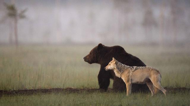 Improbable amistad entre un oso y un lobo captado por la cámara de Lassi Rautiainen