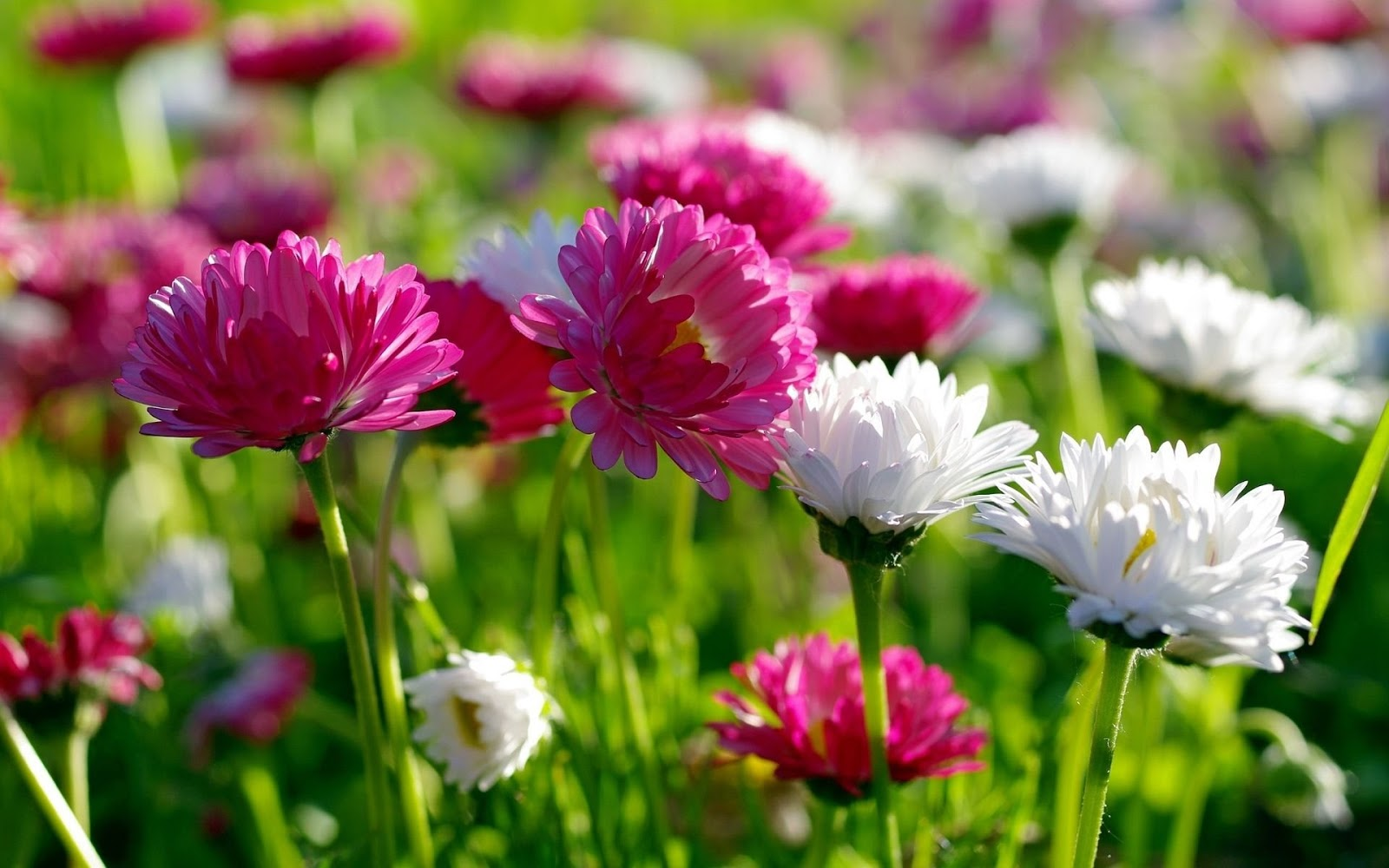 HD WALLPAPERS FOR DESKTOP: spring flowers