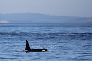 Orcas on both trips out of Anacortes!