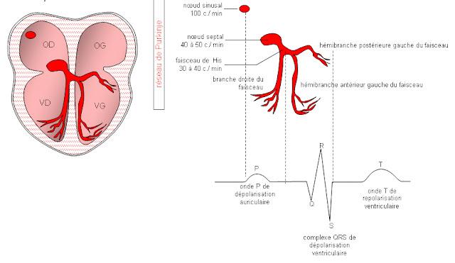 cours infirmier physiologie cardiaque tissu nodal