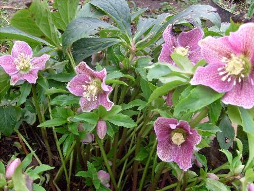 Ma plan te jardin d but d 39 hiver fleuri - Risque de fausse couche jusqu a combien de semaines ...