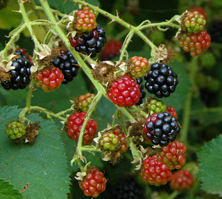 Ripe and Unripe Blackberries on Vine