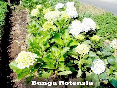 BUNGA ROTENSIA