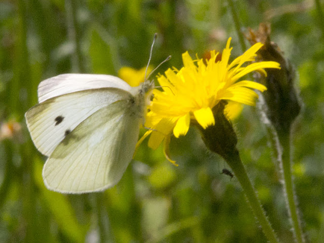 Small White butterfly, Pieris rapae, on Rough Hawkbit, Leontodon hispidus, in the Conservation Field in High Elms Country Park, 15 July 2011.