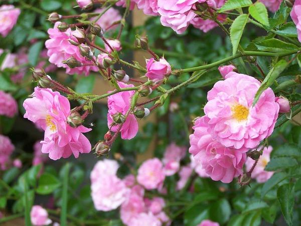 Plantas trepadoras para muros soleados  Guia de jardin Aprende a