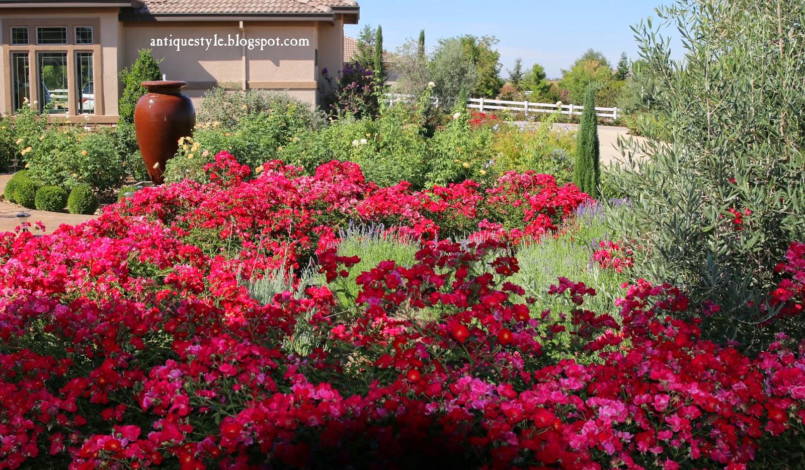 Flower Carpet Roses Yard In Progress Pinterest