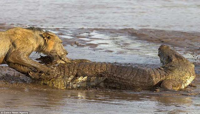 بالصور.. تمساح شجاع يحاول مشاركة الأسود فريستهم