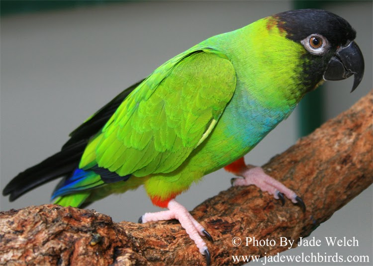 nanday conure jade welch birds