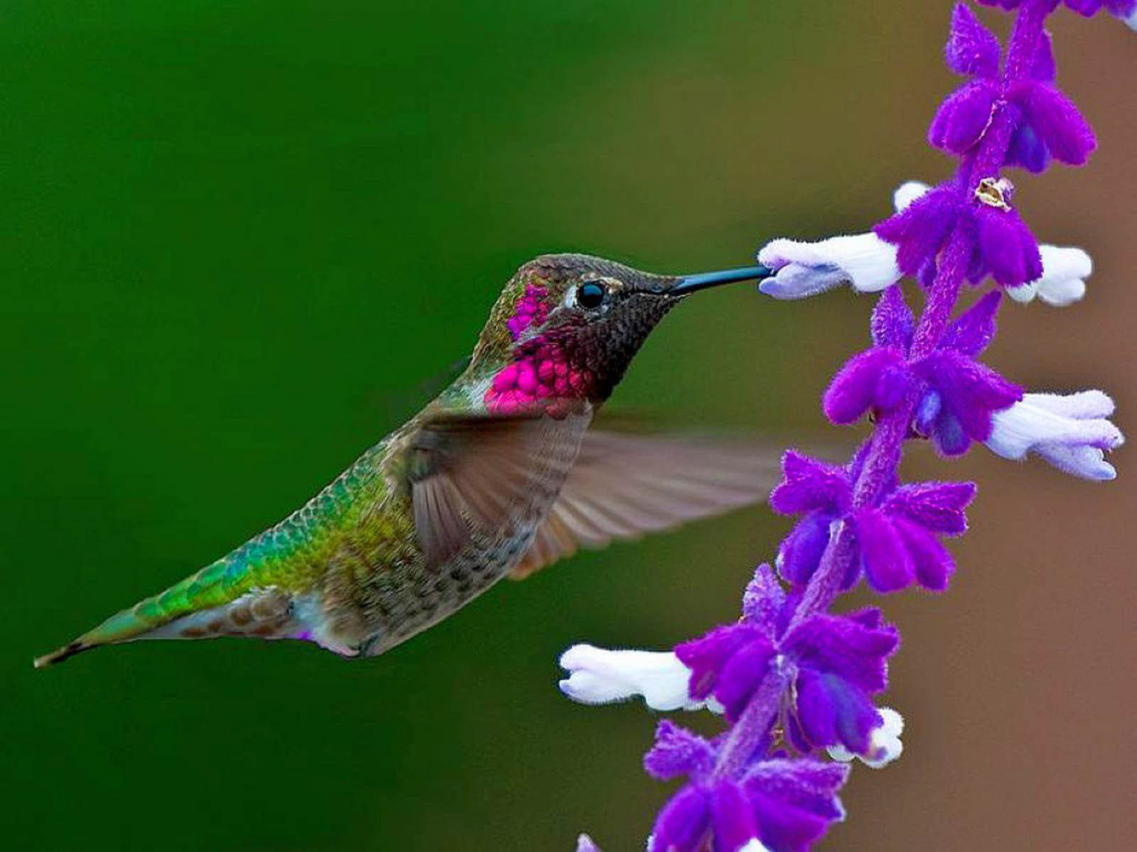 humming bird wallpaper | desktop wallpapers