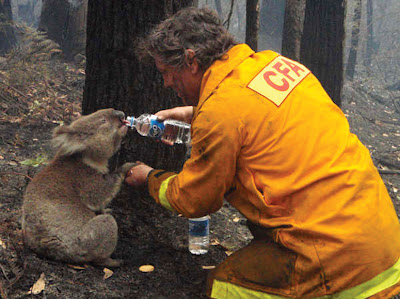 A firefighter gives water to a koala bear after the Black Saturday fires in Australia in 2009.