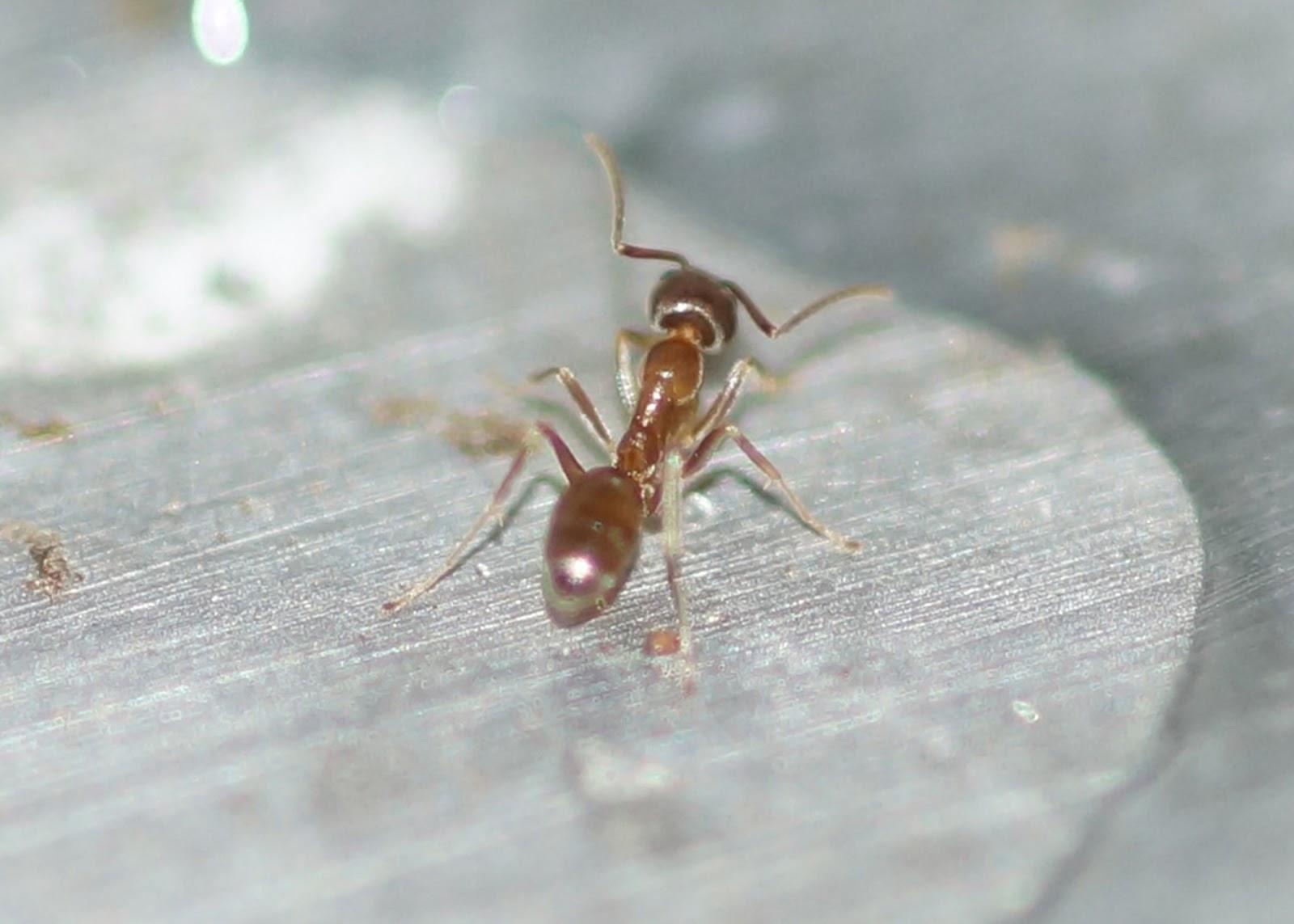 Argentine ants bite - photo#10