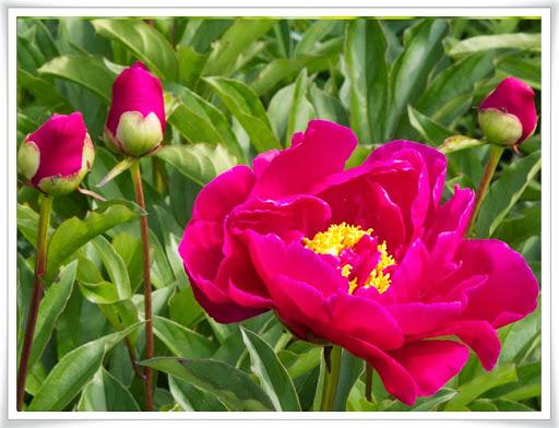 Rosa blomma i blomlandet
