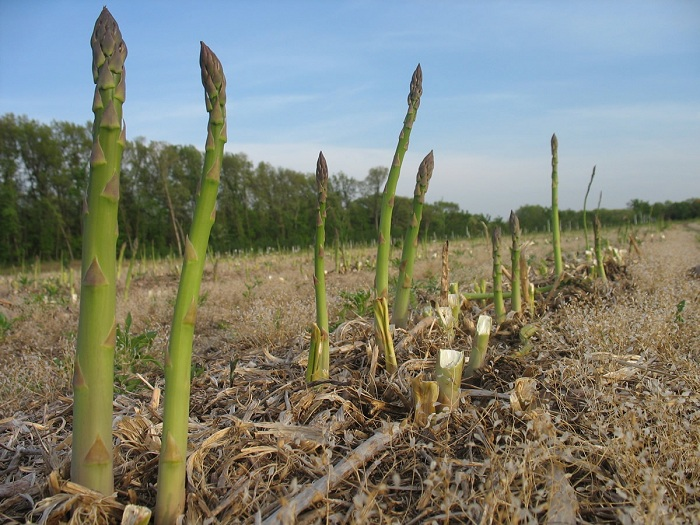 HOW TO GROW ASPARAGUS FROM SEED The Garden of Eaden
