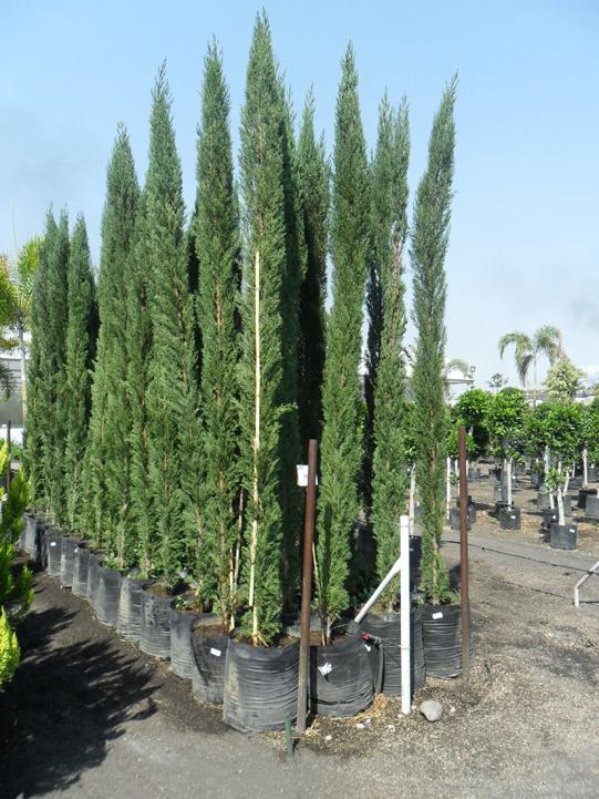 Zonas verdes galer a de plantas for Arboles para macetas de exterior