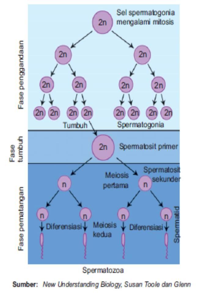 Proses pembentukan sperma dan ovum ccuart Image collections