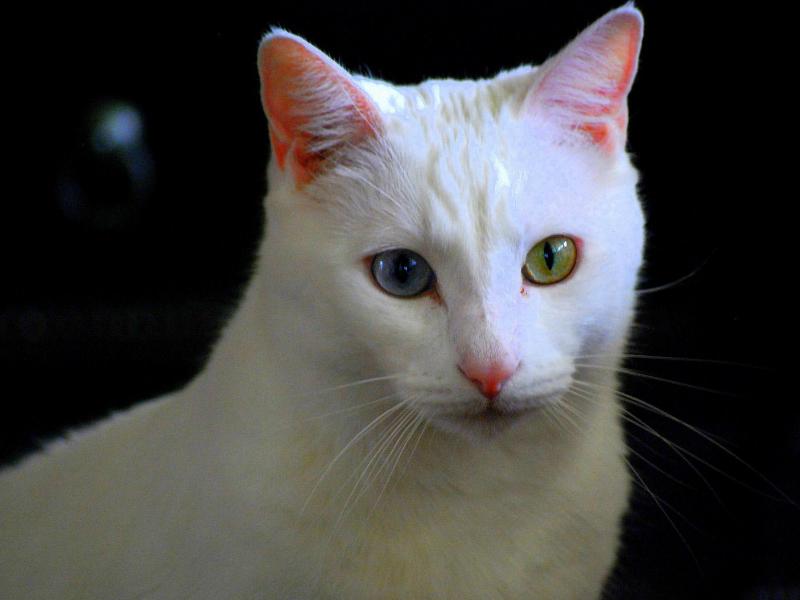 Cara Merawat Kucing Anggora Rawat Bulunya