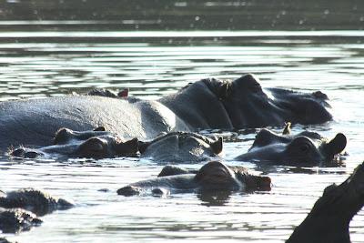 kruger national park africa hippopotamus