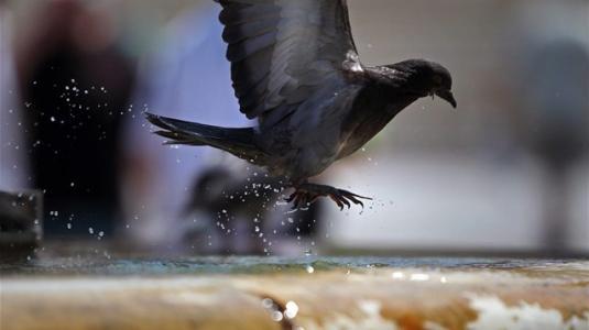 Ρωσία: Περιστέρια «ζόμπι» προκαλούν ανησυχία