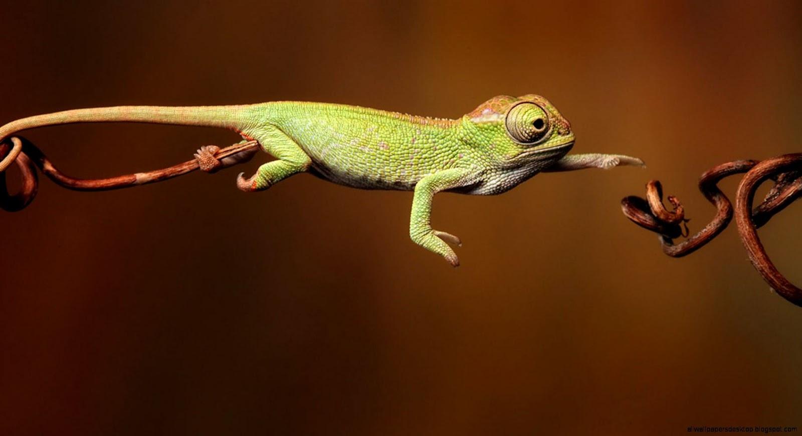 Cute Baby Chameleon